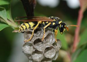 Bộ sưu tập côn trùng 2 - Page 14 Wasp_March_2008-3-300x214