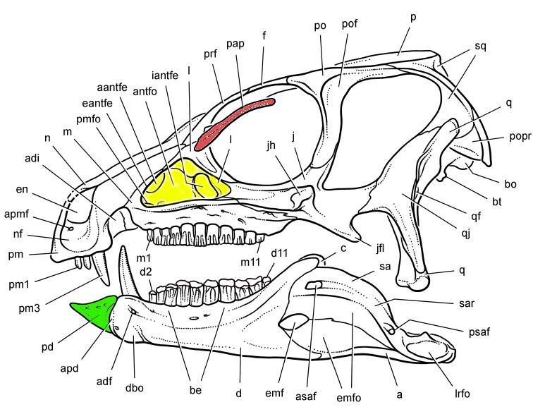 Heterodontosaurus_skull_reconstruction_sereno_2012_edited