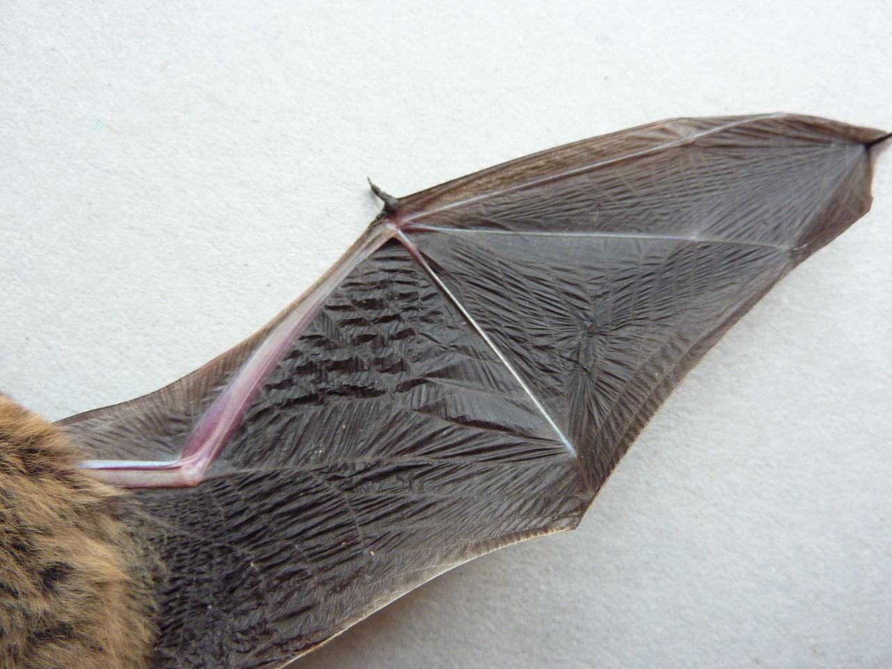 1280px-Bat-wing_underside